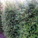 Taxuszweige - dürfen diese kompostiert werden?